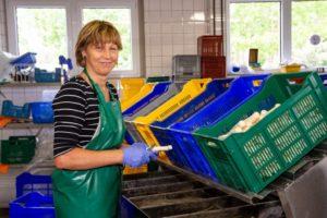 Sortierung von Bergener Spargel aus der Lausitz